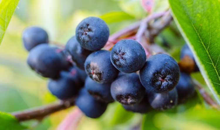 fructe-de-padure